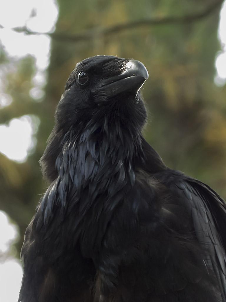 http://www.algonquinadventures.com/forums/raven.jpg
